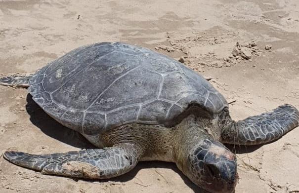 Cinco tartarugas são encontradas mortas no litoral do Piauí